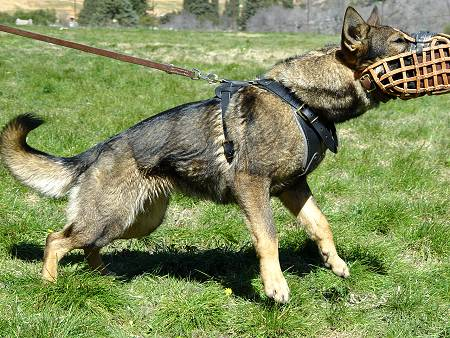 Malinois comfortable training muzzle
