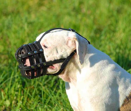 American bulldog dog muzzle
